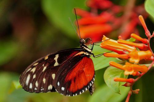 auksinis helikonas,drugelis,vabzdys,laukinė gamta,sparnas,helicon,heliconius,hecale,proboscis,ventralis,antenos,nektaras,žiedadulkės