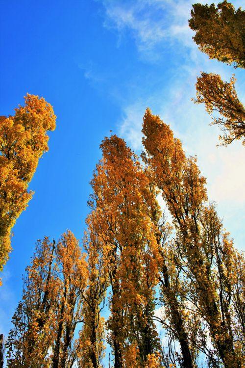 medžiai, tuopa, aukštas, geltona, ruduo, aukso tuopos medžiai