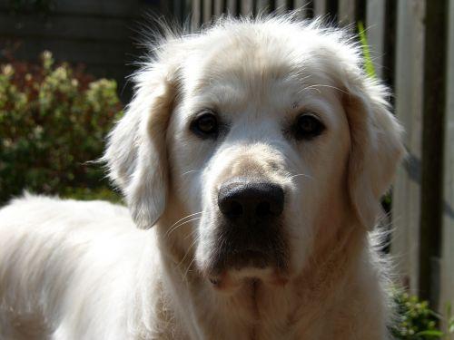 Auksaspalvis retriveris,šuo žiūri į kamerą,blizgus sluoksnis
