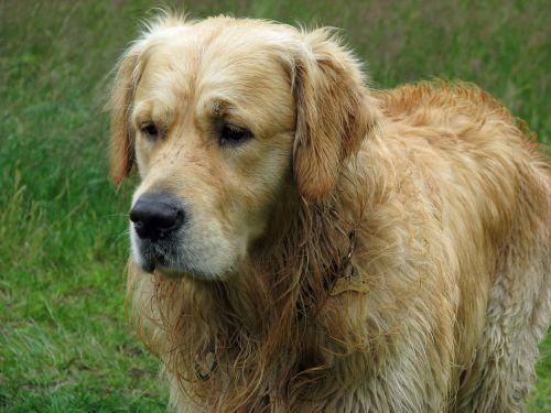 auksinis & nbsp, retriveris, auksinis, retriveris, šuo, naminis gyvūnėlis, šunys, gyvūnas, veislė, portretas, šlapias, Iš arti, nuotrauka, vaizdas, galva, lauke, gražus, auksinis retriveris šuo