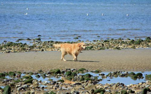 auksinis & nbsp, retriveris, šuo, auksinis, retriveris, šunys, naminis gyvūnėlis, veislė, vaikščioti, papludimys, kranto, pajūryje, smėlis, rutulys, Burna, nuotrauka, vaizdas, auksinis retriveris šuo
