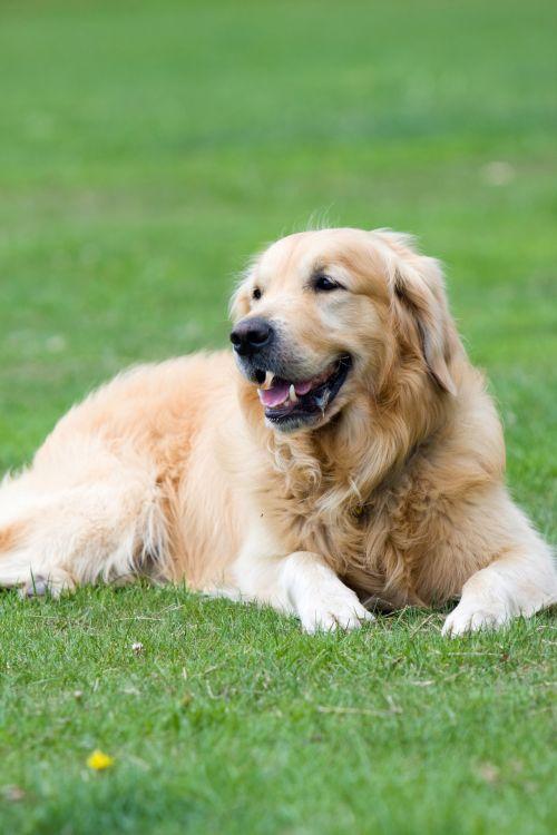 auksinis & nbsp, retriveris, auksinis, retriveris, šuo, šunys, naminis gyvūnėlis, gyvūnas, veislė, gražus, nuotrauka, portretas, vaizdas, gulintis, žalias, žolė, auksinis retriveris šuo