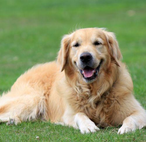 auksinis & nbsp, retriveris, retriveris, auksinis, šuo, šunys, naminis gyvūnėlis, gyvūnas, gražus, gulintis, žalias, žolė, Iš arti, vaizdas, nuotrauka, veislė, kilmės, auksinis retriveris šuo