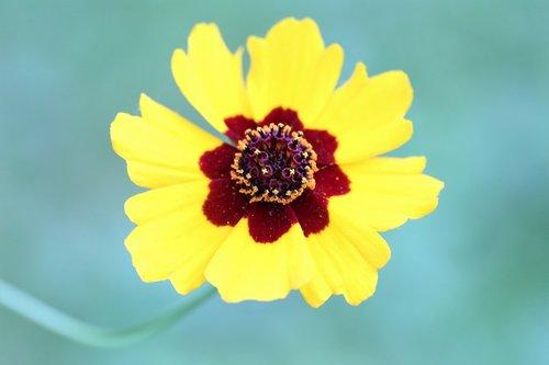 Golden gludas, coreopsis tinctoria, įmonių žiedlapiais, žydi, floros, augalų, vasara, pobūdį, lauko