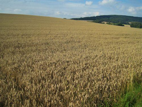 aukso geltonųjų kviečių laukas,vasaros pabaigoje,kukurūzų laukas,grūdai,aukso geltona,Žemdirbystė,grūdai,laukas,gamta,kaimas,vaizdingas,vasara,žemės ūkio,botanika,kraštovaizdis,rugių laukas