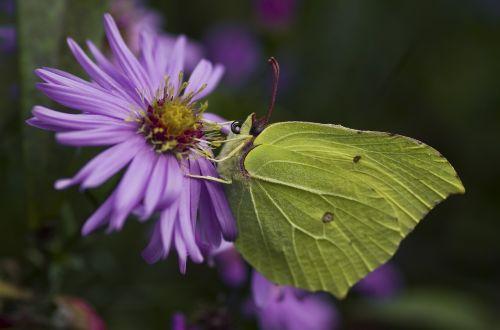 Dedpeterx Rhamni,drugelis,ruduo,geltona,žalias,asters,vabzdys,herbstaras,sodas