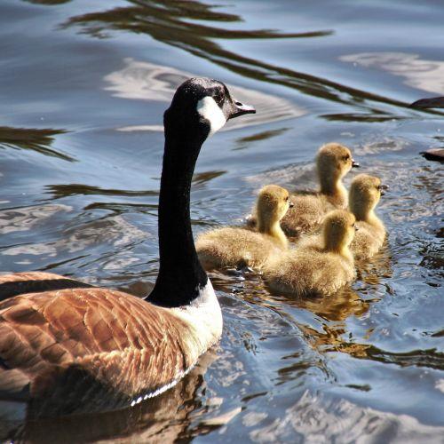 žąsis,žąsys,mama žąsis,goslings,gamta,paukštis,laukinė gamta,vandens paukščiai,vanduo,Kanados žąsis,maudytis,tvenkinys,kūdikiai,plaukti,ežeras,vandens paukštis