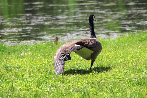 žąsis, Kanados & nbsp, žąsis, plunksnos, sparnas, išplatinta, išplėstas, aerobika, ištempimas, lankstus, žąsys daro aerobiką