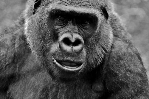 gorila,beždžionė,gyvūnas,pūkuotas,Omnivore,laukinės gamtos fotografija,portretas,tierpark hellabrunn,Munich