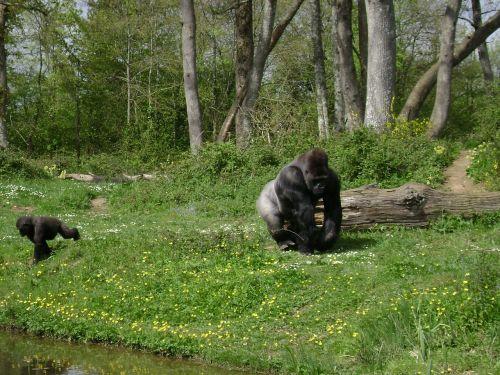 Gorila, Beždžionė, Fauna