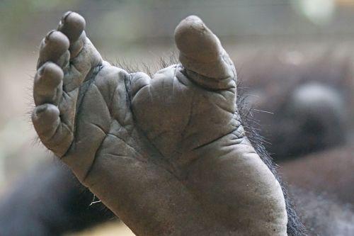 gorila,pėdos,galūnės