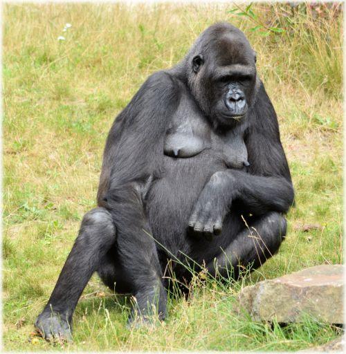 gorila, zoologijos sodas, serijos, beždžionė, beždžionės, Holland, Amsterdamas, gyvūnas, gyvūnai, artis, žinduolis, apenheul, apeldoorn, gorilos klanas 11
