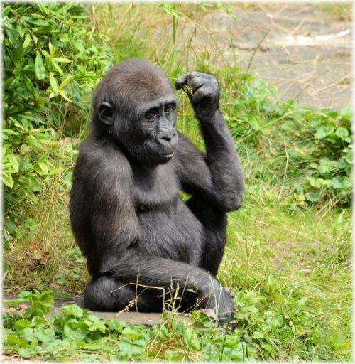 gorila, zoologijos sodas, serijos, beždžionė, beždžionės, Holland, Amsterdamas, gyvūnas, gyvūnai, artis, žinduolis, apenheul, apeldoorn, gorilos klanas 12