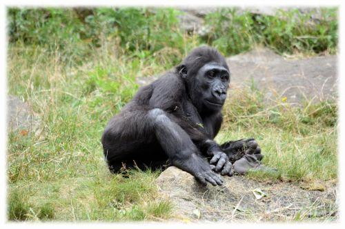 gorila, zoologijos sodas, serijos, beždžionė, beždžionės, Holland, Amsterdamas, gyvūnas, gyvūnai, artis, žinduolis, apenheul, apeldoorn, gorilos klanas 15