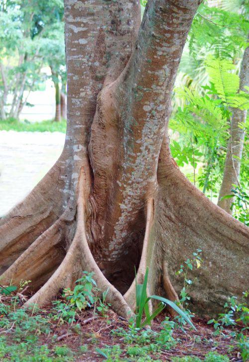 medis & nbsp, šaknys, šaknys, medis, kreivų & nbsp, šaknys, kreivas & nbsp, medis, medis & nbsp, bagažinė, gracingi medžių šaknys