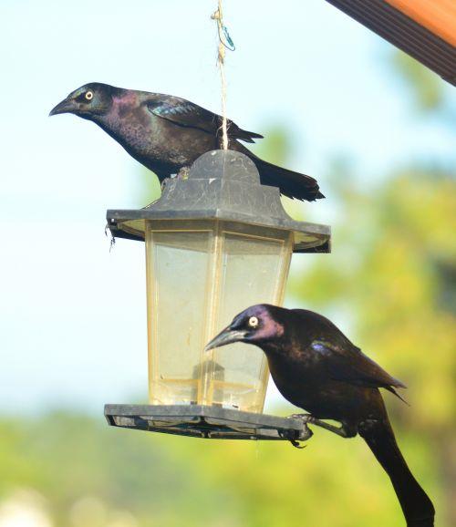 grikiai, juodieji paukščiai, juoda, paukščiai, varnos, paukštis & nbsp, tiektuvas, griuvėsių juodųjų paukščių paukščių tiektuvas