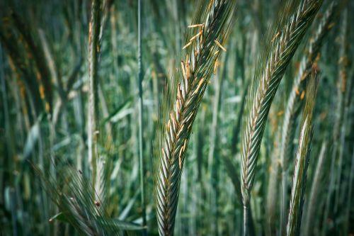 grūdai,kukurūzų laukas,grūdai,kvieciai,gamta,laukas,Žemdirbystė,spiglys,rugių laukas,grūdų laukai,sėkla,ariamasis,kraštovaizdis,derlius,augalas,maistas,makro,Uždaryti