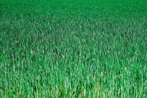 grūdų, Niva, laukas, ariamoji žemdirbystė, kraštovaizdis, srityje kviečių, Žemdirbystė, pasėlių, kviečių laukai