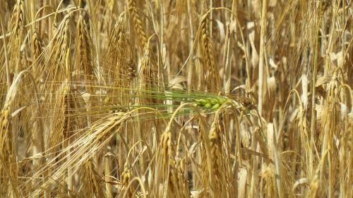 grūdai,ausis,grūdai,laukas,gamta,derlius,kviečių smaigalys,Žemdirbystė