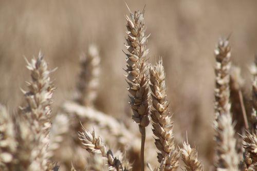 grūdai, Bauer, grūdai, derlius, kvieciai, kukurūzų laukas, Žemdirbystė, gamta, laukas, ariamasis, rugių laukas, prinokę, kviečių smaigalys, auksas, vaizdingas, maistas, sveikas