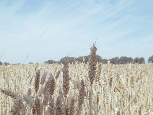 grūdai, kukurūzų laukas, laukas, ausis, grūdai, kvieciai, Žemdirbystė, rugių laukas, gamta, dangus, kraštovaizdis, kviečių smaigalys, grūdų laukai, derlius, ariamasis, subrendęs, maistas, valgyti, vasara, mėlynas, rugiai, rugių laukas, grūdų laukas, augalas, nuotaika