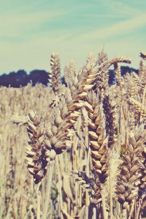 grūdai, kukurūzų laukas, laukas, grūdai, kvieciai, Žemdirbystė, rugių laukas, spiglys, gamta, dangus, kraštovaizdis, kviečių smaigalys, grūdų laukai, apšvietimas, ariamasis, subrendęs, maistas, valgyti, vasara, mėlynas, rugiai, rugių laukas, grūdų laukas, augalas