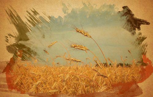 grūdų laukas,kvieciai,nuotrauka,trys smaigalys,akvarelės efekto kviečių laukas