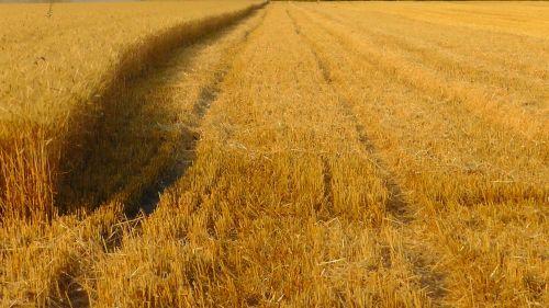 grūdų derlius,kukurūzų laukas,grūdų laukas,derlius,laukas,prinokę,derliaus nuėmimas,kvieciai,rugių laukas,spiglys,grūdai,grūdai,ariamasis,Žemdirbystė,subrendęs,kraštovaizdis,vasara,gamta,augalas