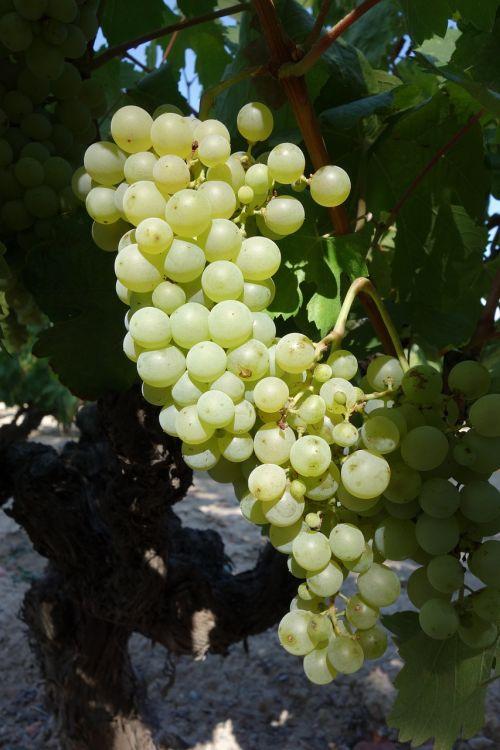 Vynuogė,klasteris,vynmedis