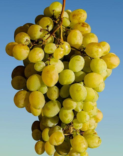 vynuogės,vaisiai,vynuogių auginimas,vynas,žalias,žaliosios vynuogės,valgyti,vynuogynas,derlius,maistas,saldus,vynmedis,vasara,ruduo,priklausyti,pasiimti