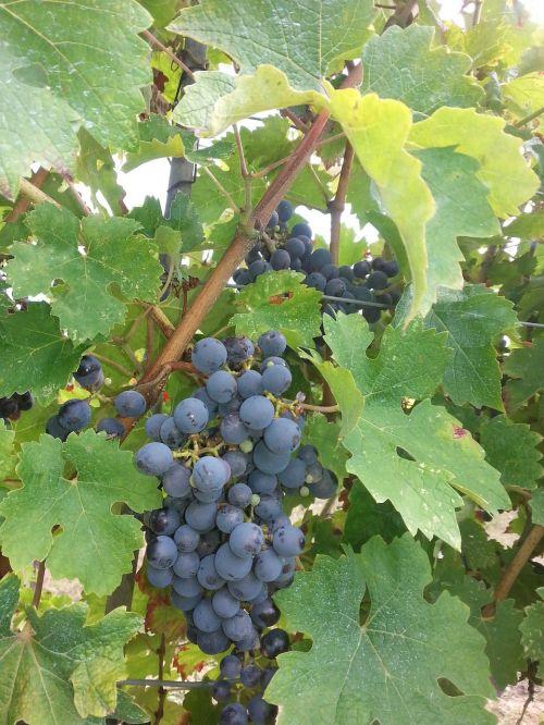 vynuogės,vynas,vynuogių auginimas,vyno derlius,vintage,augalas,mėlynas,vynmedis,auginimas