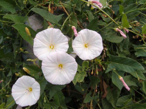 žolė,gėlės,vasara,berezka,vasaros gėlės,makro,Iš arti,lauko gėlės,laukinės gėlės,baltos gėlės