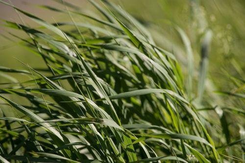 žolė,žalias,žalia žolė,žole pieva,gamta,Uždaryti,vasara,aukšta žolė