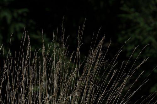 žolė,žolės žolės,Halme,žolės,gamta,ilgos žolės,Uždaryti,vasara,augalas,sėklos