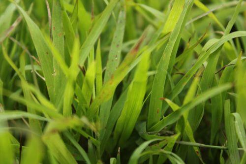 žalia žolė, žolė, žalias, augalai, lapai, sodas, tapetai, fonas, žolė # 2