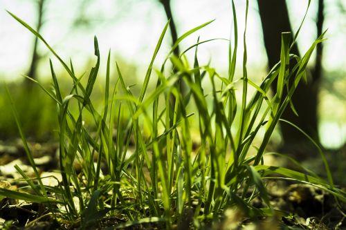 žolė,žolės,žolės žolės,gamta,augalas,žolės mentė,žalias,makro,Uždaryti,žalia žolė,sultingas,šviesus