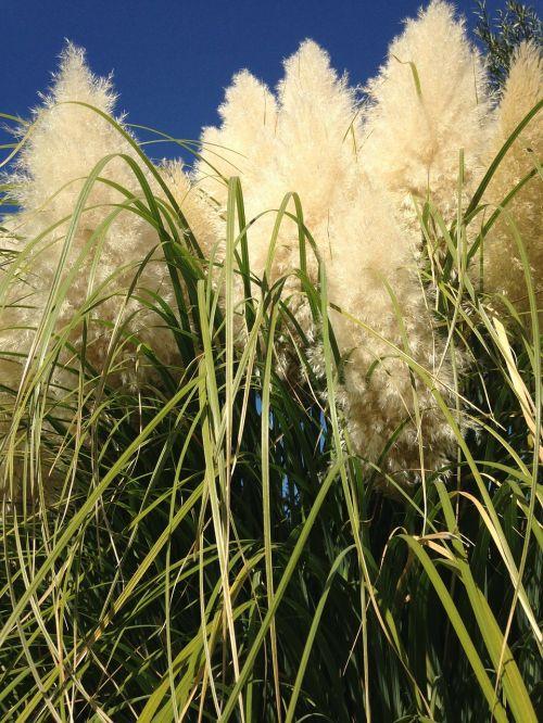 žolė,pampų žolė,aukšta žolė,augalas,natūralus,botanikos,ekologiškas,botanika,žolė,Žemdirbystė,lauke,aplinka,sodininkystė,augmenija,lapija