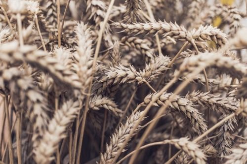 žolė,kvieciai,javai,grūdai