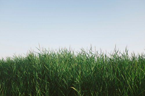 žolė,gamta,pasėliai,debesys