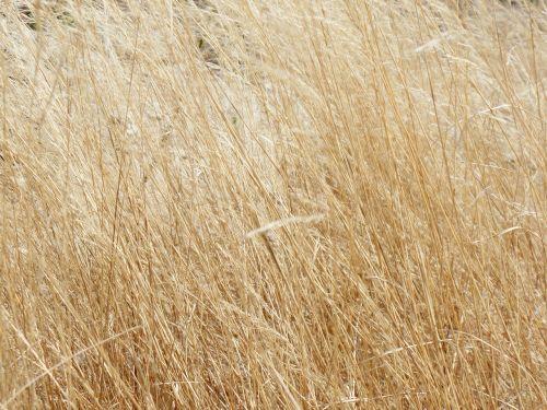 žolė,geltona,sausas,dykuma,gamta,sausas lapas,lapai,sol,sausas šakeles