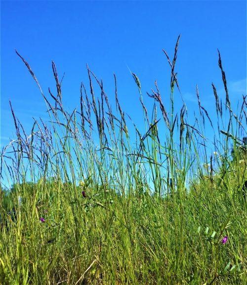 žolė,lova,žolės mentė,vasara,Himmel,gamta,Švedija,Švedijos vasara,šiandien,saulės šviesa,lauke,laukas,šienas,Švedijos gamta,saulės energija,žalias,nuotrauka,Iš arti,augalas,augalai,gražiai,sodas,vasaros pieva,neįprastas,gräsvippa,eiti,gražus,geliu lova
