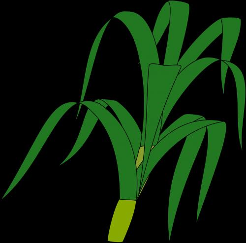 žolė,stiebas,žalias,augalas,stiebas,izoliuotas,botanikos,lapai,nemokama vektorinė grafika
