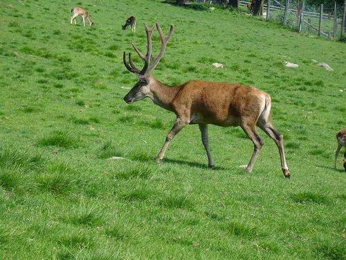 žolė, meadow, Hirsch, laukas