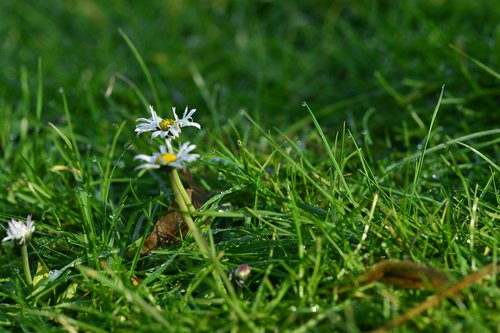 žolė, pobūdį, meadow, vasara, laukas, seni lapai, žalia žolė, rasa ant žolės, Daisy, ryte žolė, pirmieji saulės spinduliai, laukinių gėlių, augalų, žiedas, žydėjimas