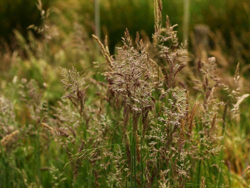 žolė,pieva,gamta,kraštovaizdis,spiglys,žalias,laukinis augimas,žinoma,augimas,flora
