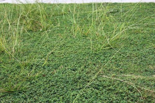 žalia žolė, žolė, žalias, augalai, lapai, sodas, tapetai, fonas, žolė 4