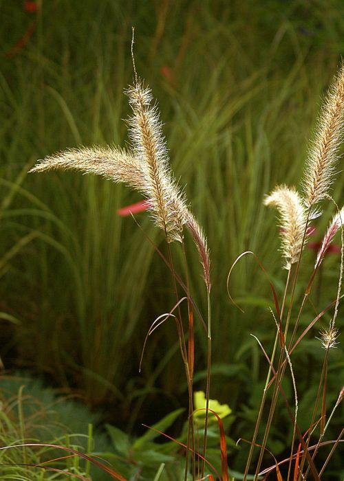 žolė,dekoratyvinė žolė,augmenija,gamta,ruduo,šviesus,figūra,Bokeh,żdżbła,stiebai,delikatesas,saulėtas,sodas,sodininkystė,flora