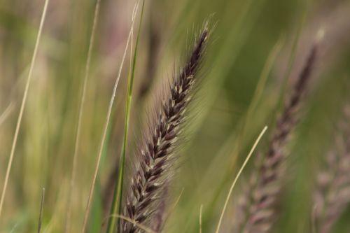 žolė,žole sėklos,laukas,laukai,gamta,makro,kviečių žolė,kvieciai