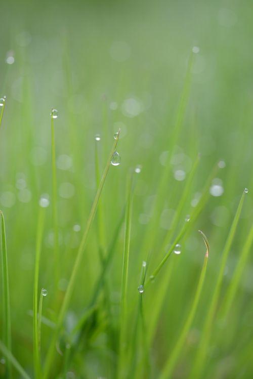 žolė,žolės mentė,lašas vandens,gamta,žolės,pieva,Halme,žolė žalia,augalas,žalias,rasos rasos,žolė su rasa