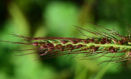 žole sėklos,žolė,Uždaryti,gamta,žolės mentė,augalas,makro,žolės ausis,sėklos,atskirai,ruduo,žiedynas,gražus,ruda,vasaros pabaigoje,ausis,laukinė žolė,pieva,žole gėlė,vasara,nemalonus,žydėti,žalias,švelnus,filigranas,laukiniai grūdai